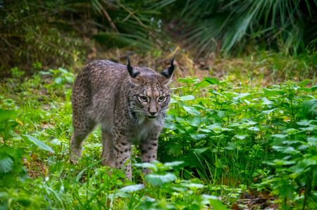 The Iberian lynx, Lynx pardinus, is a wild cat species native to the Iberian Peninsula in southwestern Europe that is listed as Endangered on the IUCN Red List. It preys almost exclusively on the European rabbit.