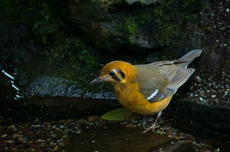 The orange-headed thrush, Geokichla citrina melli, breeds in southeastern China, and is partially migratory, regularly wintering in Hong Kong. Stock Photo