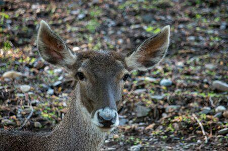 Thorolds deer,Cervus albirostris, are members of the Cervidae family