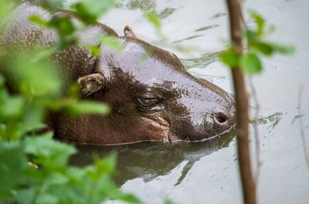 Pygmy hippopotamus, Choeropsis liberiensis, swimming in the water