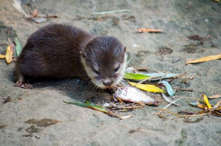 The Asian small-clawed otter, Amblonyx cinerea, also known as the oriental small-clawed otter or simply small-clawed otter, is a semiaquatic mammal native to South and Southeast Asia. 写真素材
