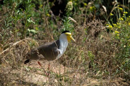The masked lapwing, Vanellus miles, also known as the masked plover and often called the spur-winged plover or just plover in its native range, is a large, common and conspicuous bird native to Australia, New Zealand and New Guinea.