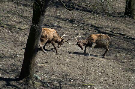 Two Thorolds deer males fighting Banco de Imagens