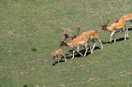 Fallow deer on green grass Banco de Imagens
