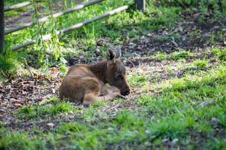 European moose baby on grass