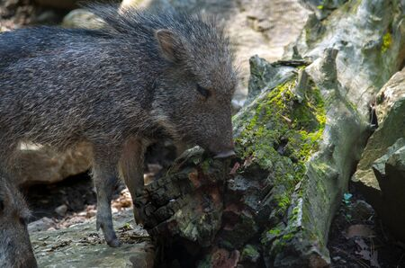 The Chacoan peccary or tagua, Catagonus wagneri, is the last extant species of the genus Catagonus. It is a peccary found in the Gran Chaco of Paraguay, Bolivia, and Argentina. Approximately 3,000 remain in the world. Standard-Bild