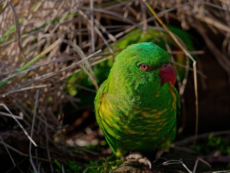 The superb parrot, Polytelis swainsonii, also known as Barraband's parrot, Barraband's parakeet, or green leek parrot.