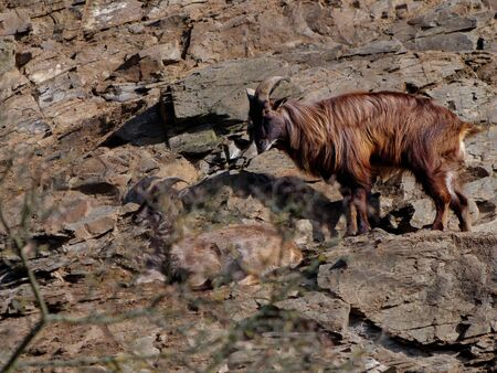 The Himalayan tahr, Hemitragus jemlahicus, is a large even-toed ungulate native to the Himalayas.