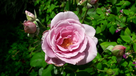 Closeup of pink rose blooming with few smaller bubs at each side and green leaves in background Banco de Imagens