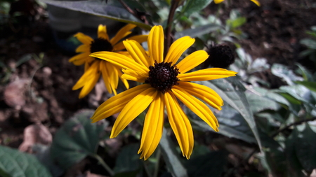 Yellow Black eyed Susan flower Rudbeckia hirta, with dark brown pestle in flower garden of Black eyed Susan in front of autumn leaves Stock Photo