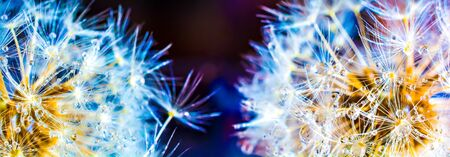 Colorful dandelion macro with lots of dew on a dark background. Panoramic high resolution
