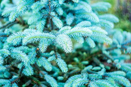 Blue Christmas tree, silver spruce