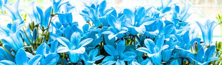 Panoramic view of turquoise Campanula flowers macro