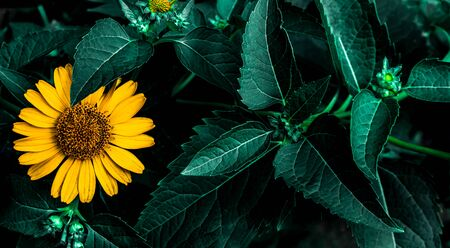 Panoramic view of yellow Jerusalem artichoke flower macro with aquamarine leaves in a dark dreary atmosphere