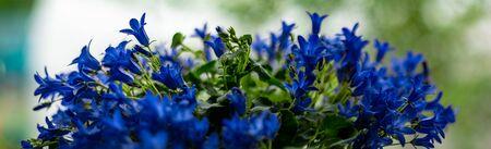 Panoramic view of dark blue saturated Campanula flowers macro