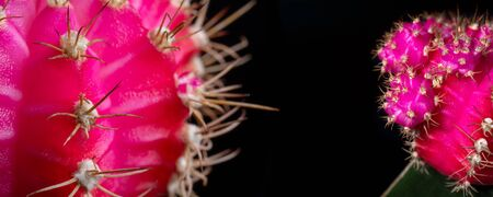 Panoramic view of colorful pink cactus macro on a black background Imagens