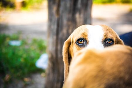 Portrait of beagle dog eyes protruding from behind the head of the second beagle dog