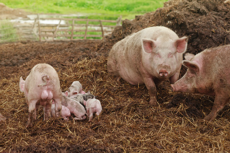 pink parent pigs with several mixed piglets at a farm background Stock Photo