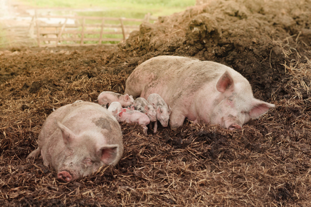 pink parent pigs lying in straw at manure heap with several mixed piglets at a farm background
