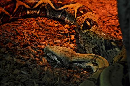 choke: Python (pythonidae) in a Zoo terrarium Stock Photo