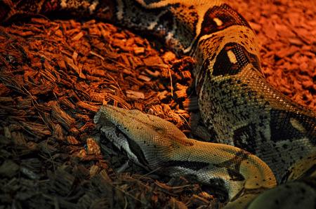 anguine: Python (pythonidae) in a Zoo terrarium Stock Photo
