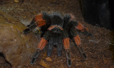 flauna: Big hairy Tarantula (Theraphosidae) at a terrarium in a zoo Stock Photo
