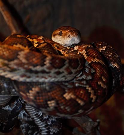 anguine: Python (pythonidae) at a terrarium in a zoo