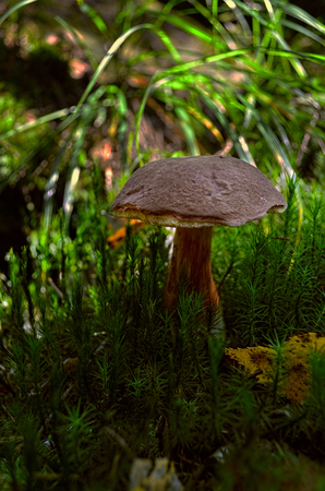 Mushroom in the forest surrounded by moss