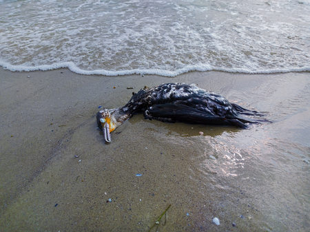 Dead cormorant on the beach