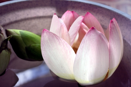 Pink flower of a lotus in the small tank