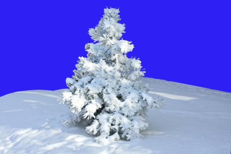 Christmas tree, covered with a thick layer of snow in the middle of the edge  Isolate on a blue background Stock Photo