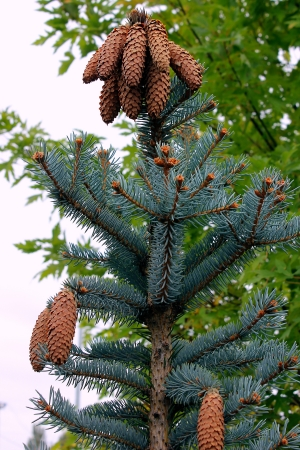 Pine tree with cones   Stock Photo