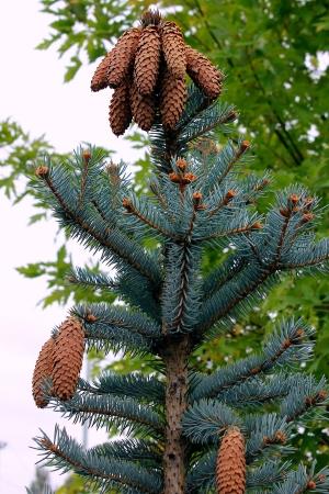Pine tree with cones   Stock Photo