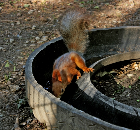 One brave squirrel with a fluffy tail drinking water from puddles in the tires.