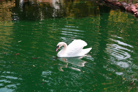 White swan swimming in the lake Stock Photo