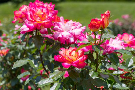 Beautiful colorful climbing roses in spring in the garden