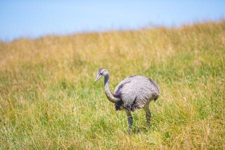 Emu in a grassy field
