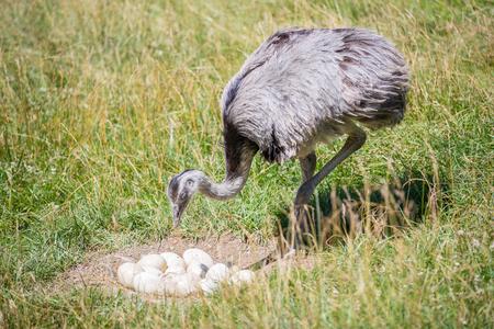 Gedomesticeerde wilde Afrikaanse struisvogel (struthio camelus) in een volière op een struisvogelboerderij bewaakt zijn eieren. Wilde struisvogels op een vogelkwekerij. Buitenshuis. Stockfoto