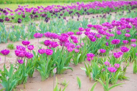 Flower beds with colorful tulips - Image