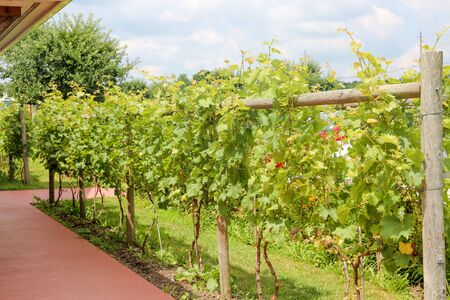 Grapes with green leaves on the vine. fresh fruits - Image Foto de archivo