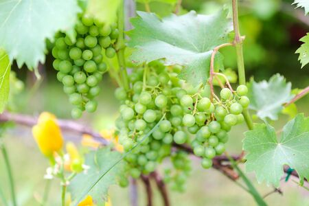 Grapes with green leaves on the vine. fresh fruits - Image 写真素材