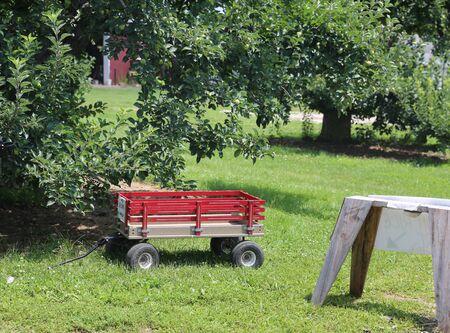 Green apples on apple tree branch - Image 写真素材