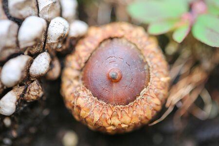 Autumn background with fallen in acorns closeup. Autumnal still-life with acorns. Background with large acorns. - Image 写真素材