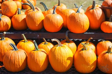 Orange pumpkins at outdoor farmer market. pumpkin patch. Copy space for your text - Image 写真素材 - 132383685
