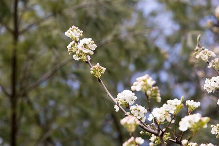 cherry tree close up Image