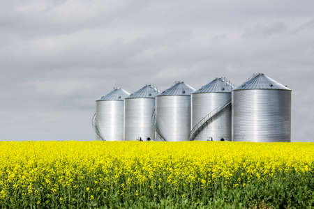 storage bin: horizontal image of five round steel grain bins sitting in a yellow canola field under a very cloudy sky in the summer.