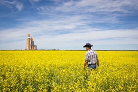 agronomist: horizontal image of a farmer walking through his bright yellow canola field with the elevator sitting in the distance on a beautiful sunny summer day.