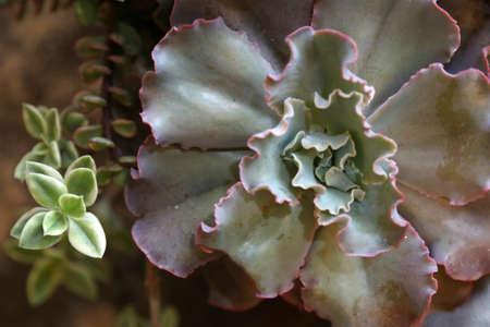 succulent: Miniature succulent plants Stock Photo