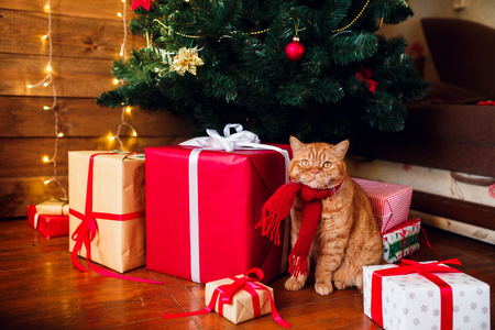 Ginger british cat in red knitted scarf sitting under Christmas tree and present boxes. Standard-Bild