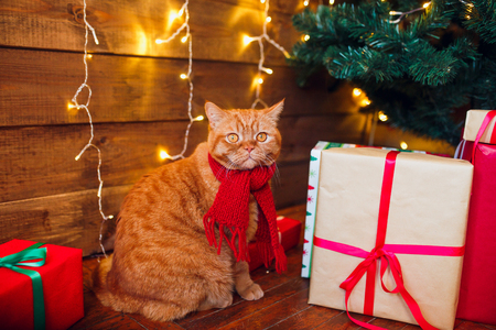 Ginger british cat in red knitted scarf sitting under Christmas tree and present boxes. Stock Photo